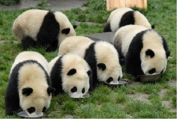 Pay a visit to Giant Panda Paradise in Chengdu