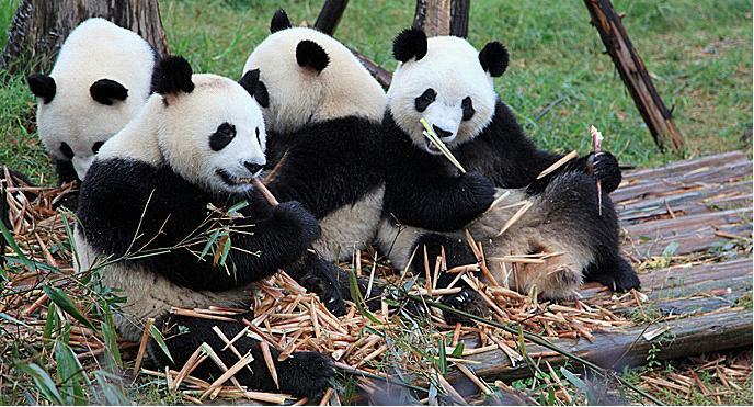 Panda Community