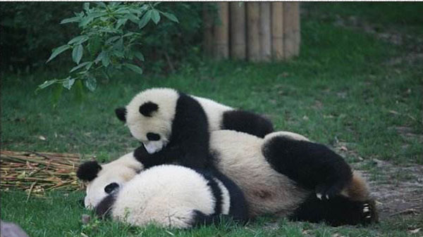 baby panda and mother