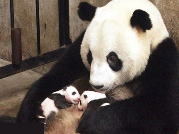mother panda and baby