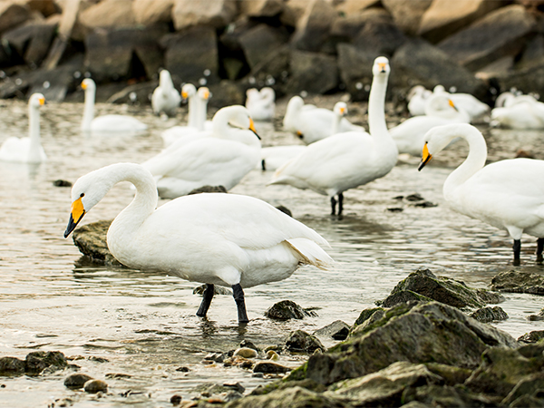 Photography Tour to Yandunjiao for Migratory Whooper Swan