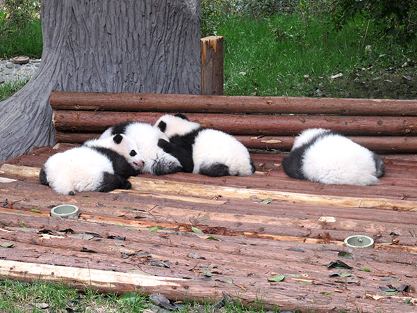 best time to visit chengdu - chengdu panda base