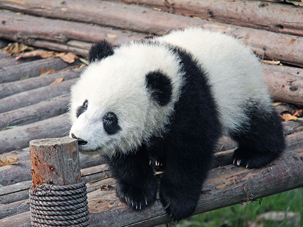 11 Days China Family Panda Tour