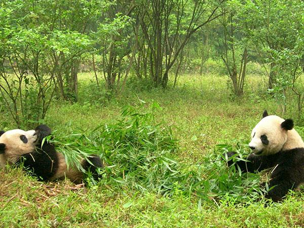 Pandor som blir matade i ett naturreservat