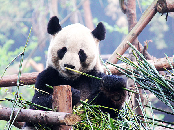 World Heritage Sites in China - Wolong Panda Reserve