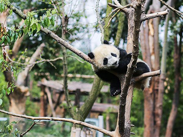 panda-06