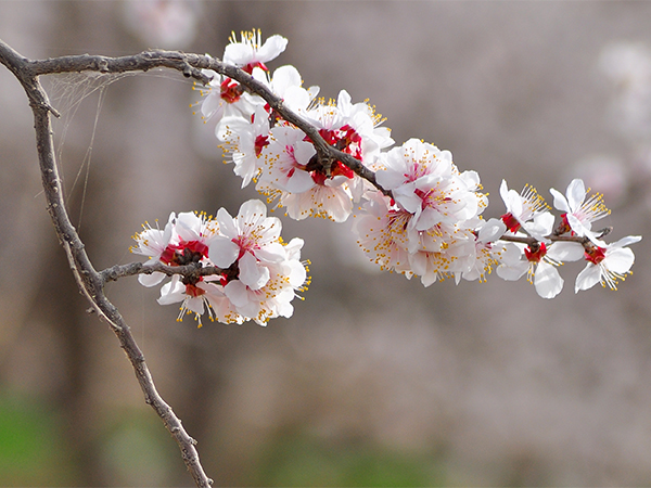 Best Places to See Spring Blossoms in Chengdu