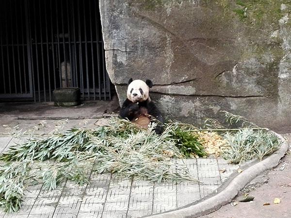 Chongqing Zoo (Panda Room)