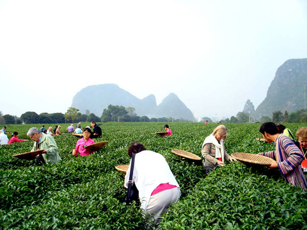 visit tea plantation-what to do and learn during an educational trip to China