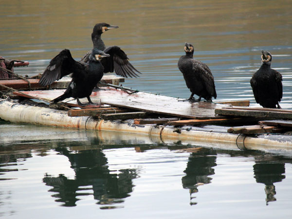 See the Cormorant Fishing Show