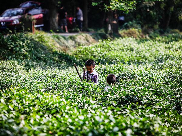 Plantación de Hangzhou 04