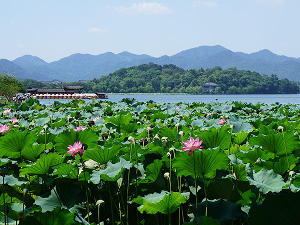 Lotus in West Lake