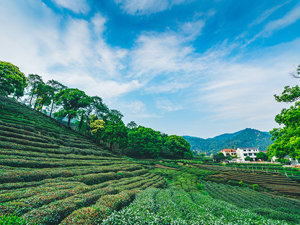 Meijiawu Tea Plantation