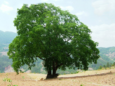 Hotan - King of Walnut Trees