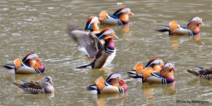 Photography Tips about Mandarin Duck in Wuyuan
