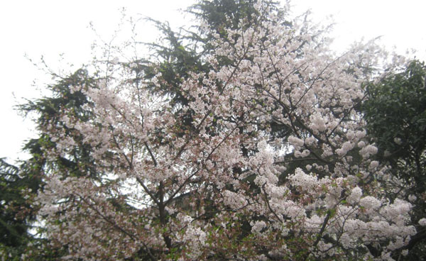 Spring Tour to Watch Cherry Blossom in Wuhan University
